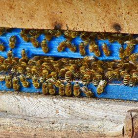 Il furto di api si verifica spesso durante l'inverno o l'autunno